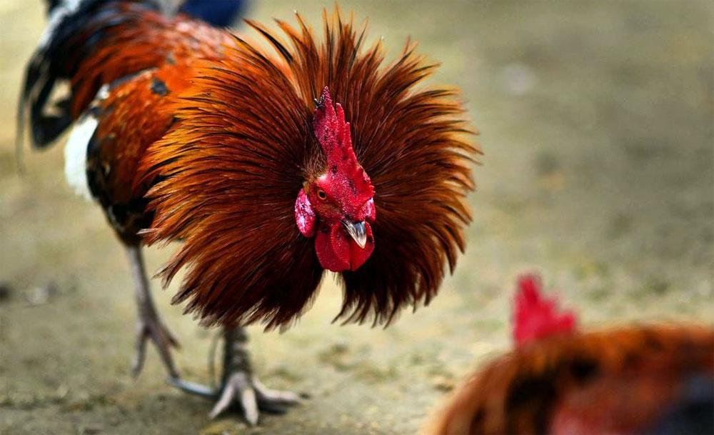Taruhan Ayam Terbesar