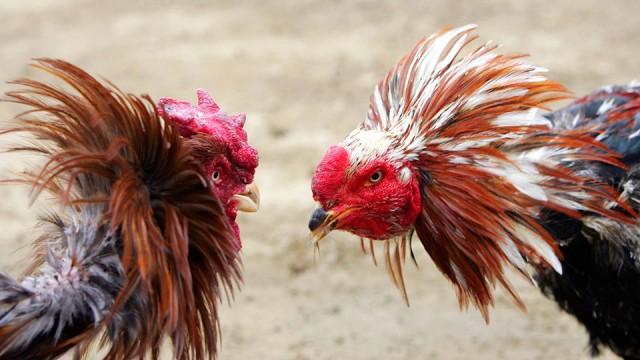 judi ayam terbaik